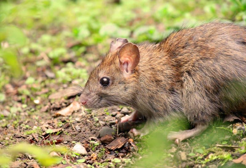 吃在森林里的野生棕色木老鼠 免版税库存图片