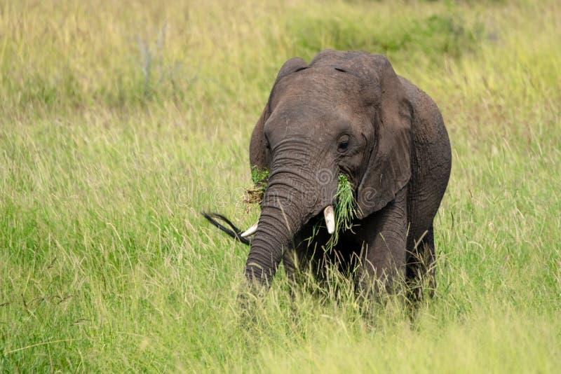 吃在灌木的非洲大象草在克留格尔国家公园,南非 e 免版税库存图片