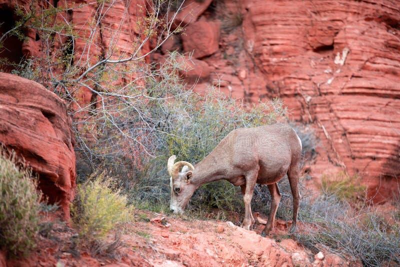 吃在红色岩石的一只大垫铁绵羊草在火-内华达国家公园谷  库存图片