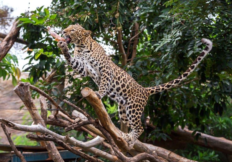 吃在自然大气的豹子食物 库存照片