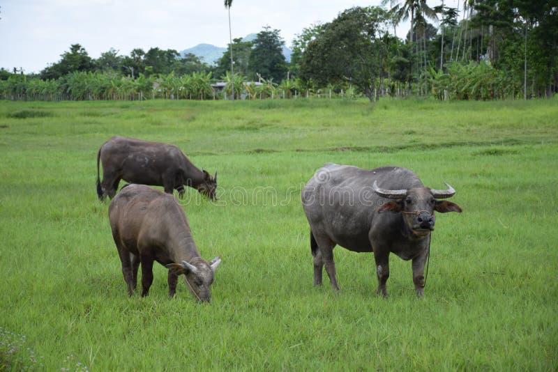 吃在草地的泰国水牛 免版税库存照片