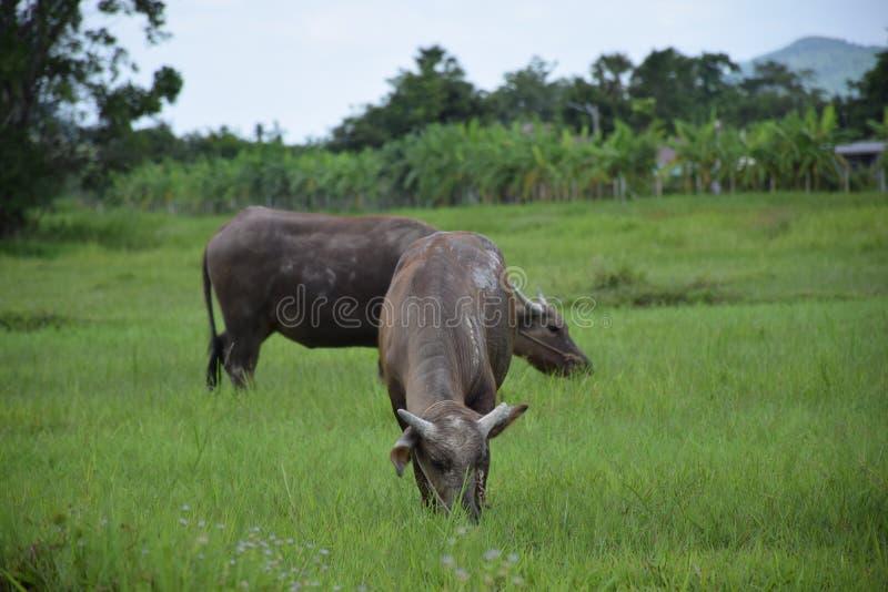 吃在草地的泰国水牛 库存图片