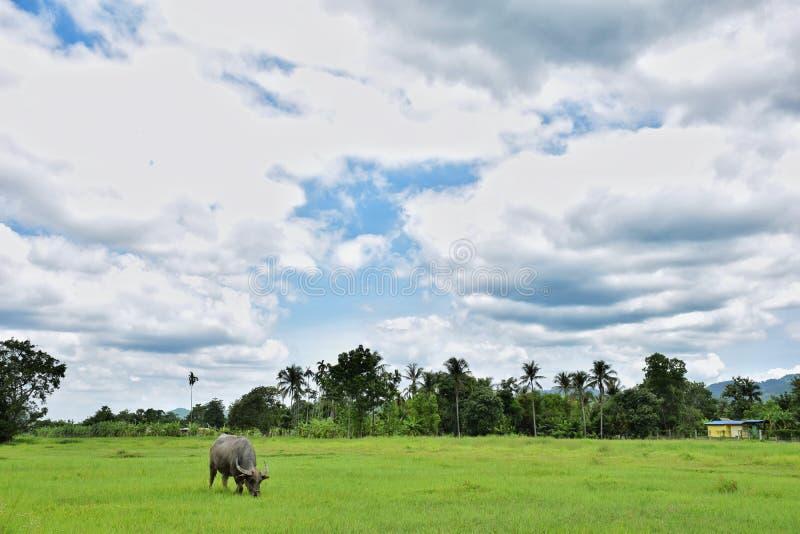吃在草地的泰国水牛 库存照片