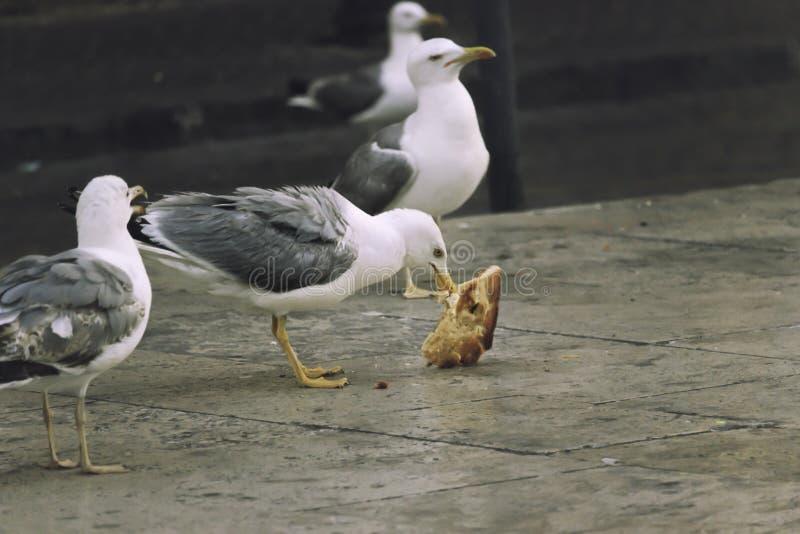 吃在街道的海鸥薄饼 免版税库存照片