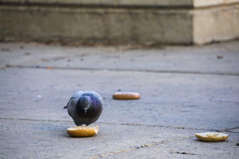 吃在边路的城市鸽子一个百吉卷在费城 库存图片