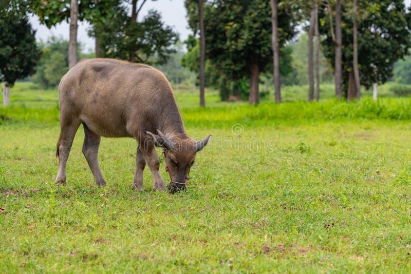吃在领域的一头公水牛小牛草 库存图片