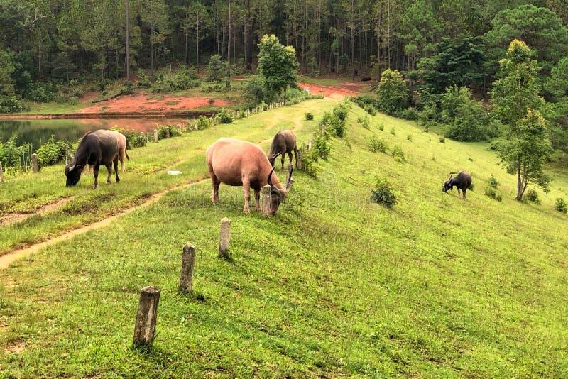 吃在领域的亚洲水牛草 免版税图库摄影