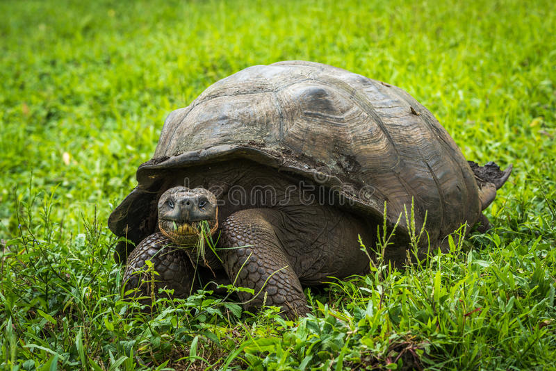 吃在领域的加拉帕戈斯巨型草龟草 图库摄影