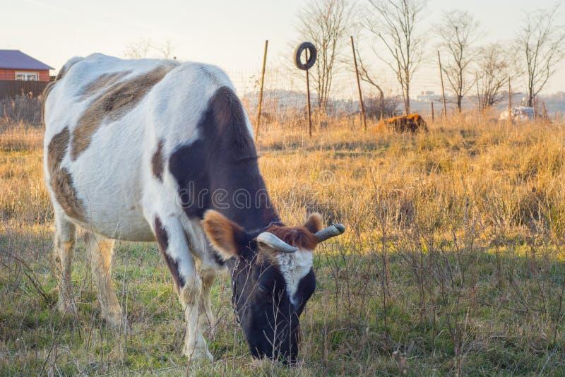 吃在领域的牛草 免版税库存图片