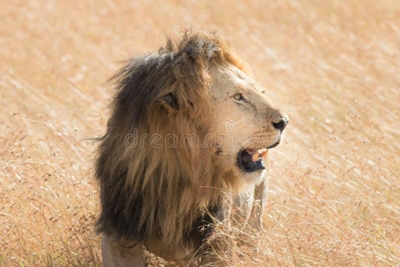 吃在马塞语玛拉的狮子一个牺牲者 免版税库存图片