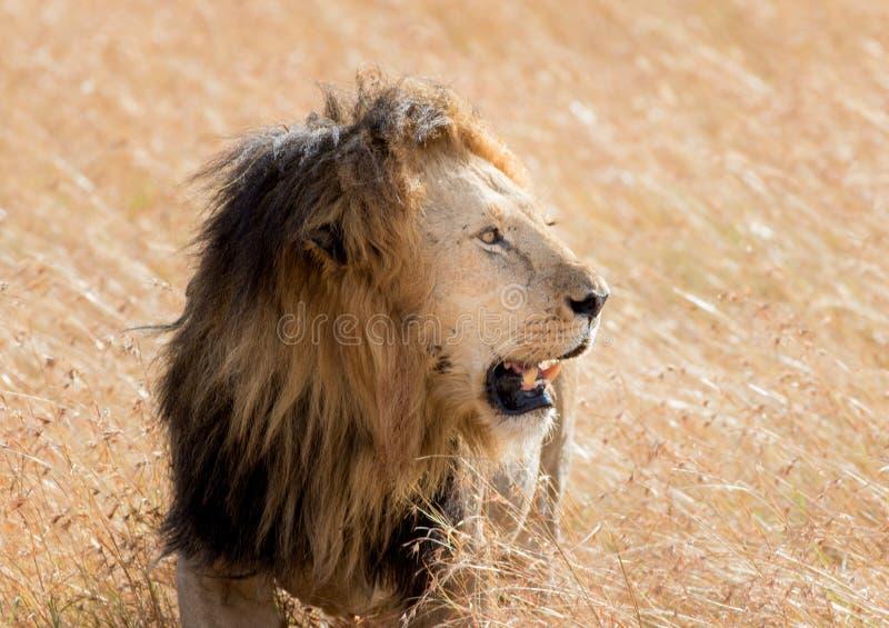 吃在马塞语玛拉的狮子一个牺牲者 免版税库存照片