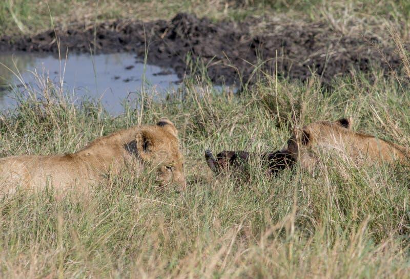 吃在马塞语玛拉的狮子一个牺牲者 免版税图库摄影