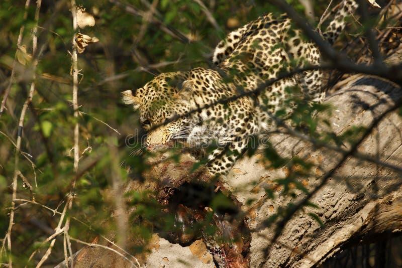 吃在Botwana ` s灌木草原的惊人的野生豹子杀害 免版税图库摄影