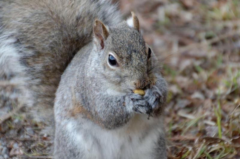 吃坚果的灰色灰鼠 免版税库存图片