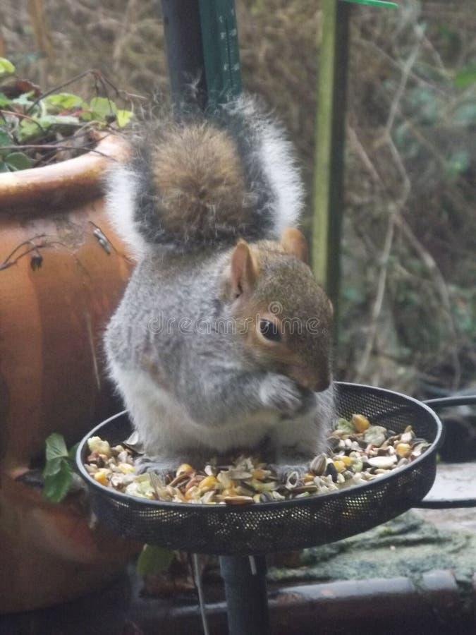吃坚果的灰鼠在冬天 免版税图库摄影