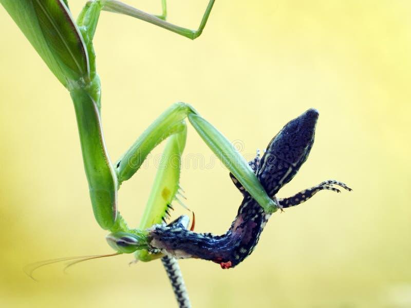 吃墙壁蜥蜴的螳螂 库存照片