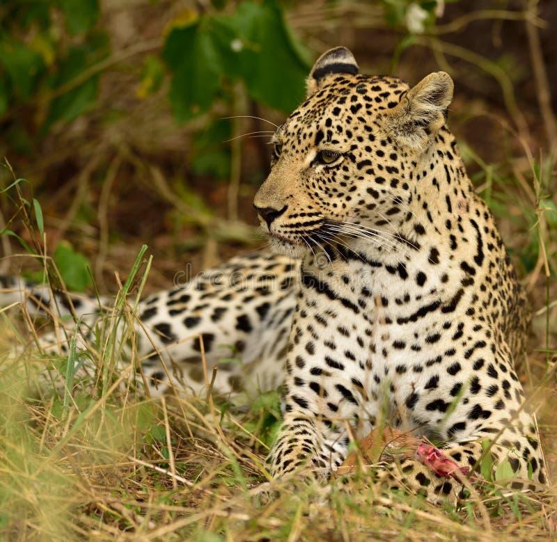 吃她的牺牲者的母亲非洲豹子 图库摄影