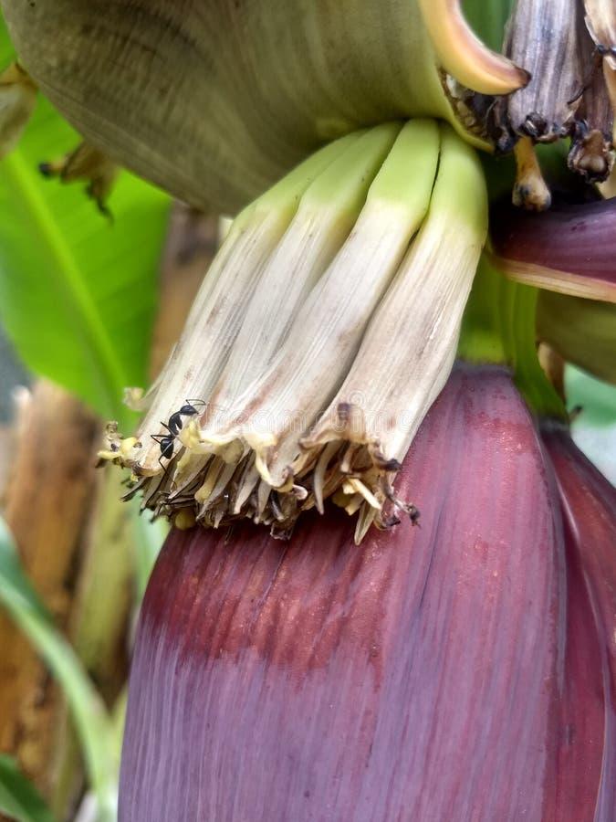 吃婴孩香蕉花的黑蚂蚁在我的庭院里 免版税库存图片