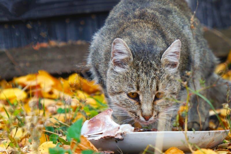吃它的在秋叶背景的猫食物  图库摄影