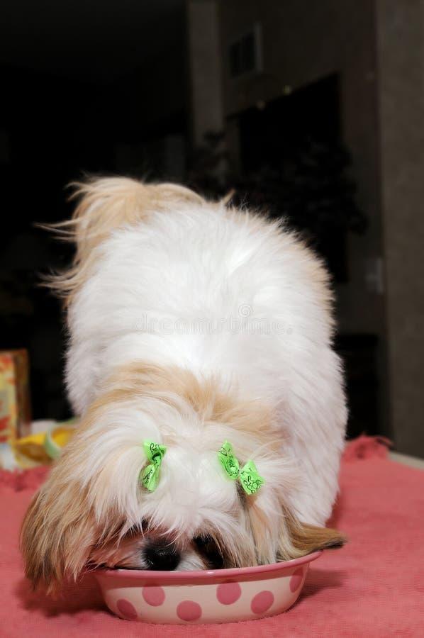 吃小狗shih tzu 图库摄影