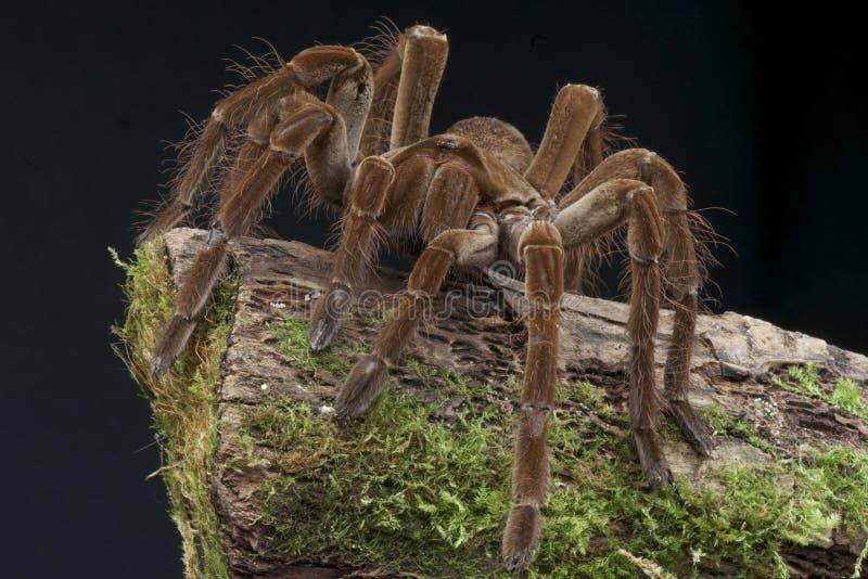 吃巨人蜘蛛的鸟 免版税库存图片