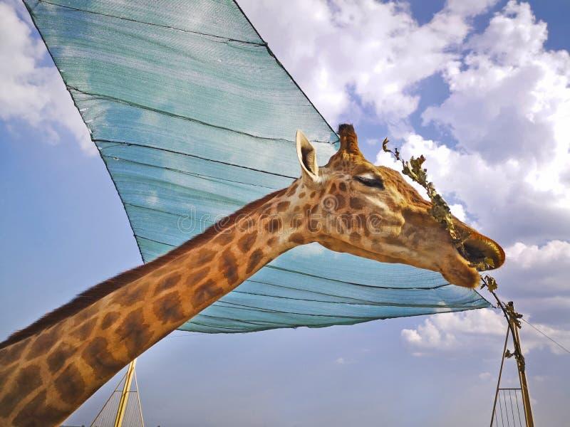 吃干燥叶子的长颈鹿的特写镜头在动物园里户外 免版税库存图片
