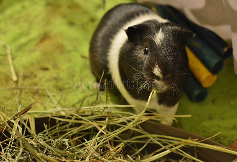 吃干草在家庭笼子幼儿围栏的逗人喜爱的试验品草食物 库存照片