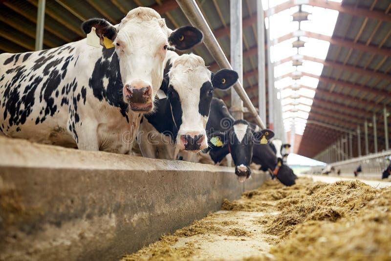 吃干草的母牛牧群在奶牛场的牛棚 库存图片