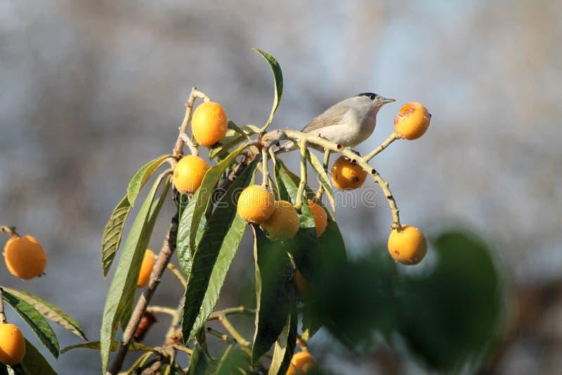 吃成熟黄色枸杞的小鸟 免版税库存照片