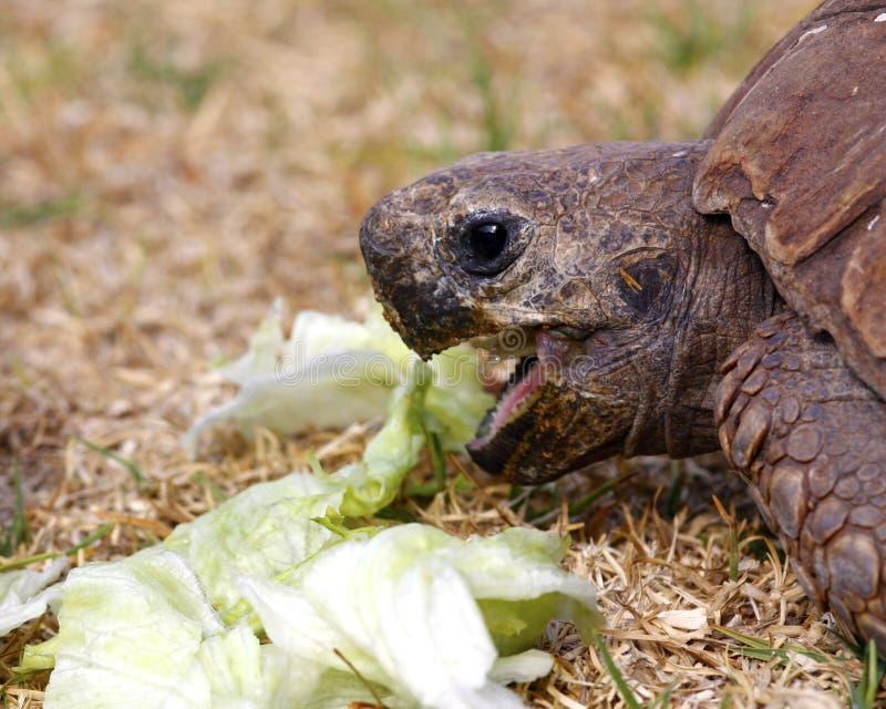 吃散叶莴苣草龟 免版税库存图片