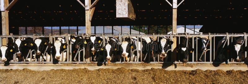 吃早餐的母牛在奶牛场。 免版税库存图片