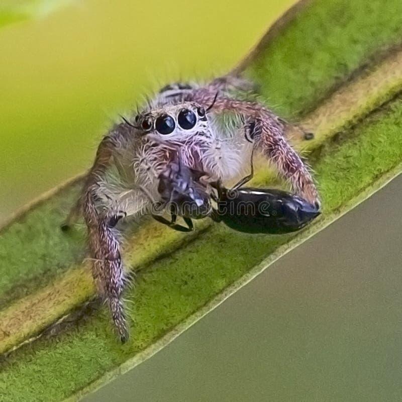 吃昆虫的蜘蛛的图象 免版税库存照片
