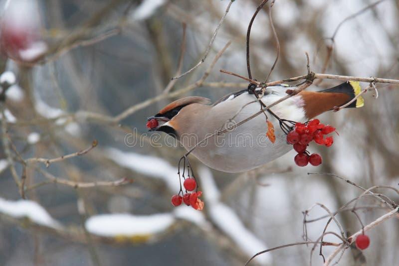 吃有些莓果的太平鸟 免版税库存图片