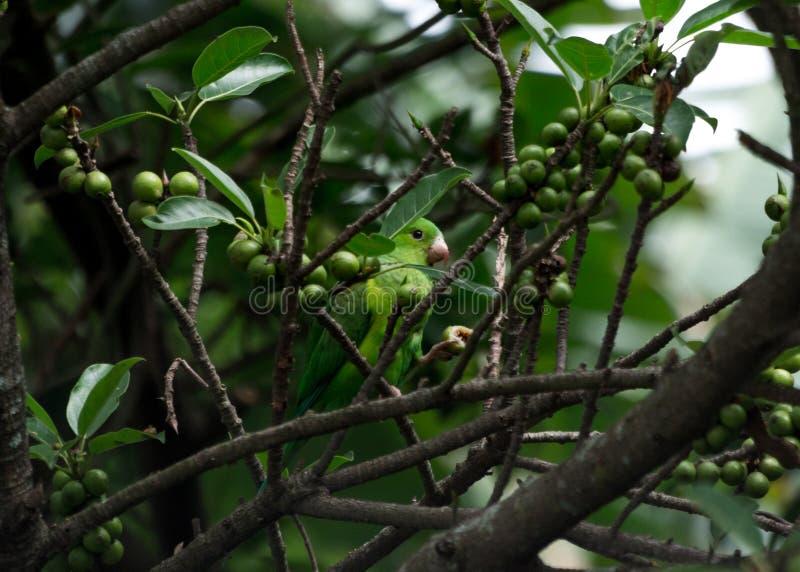 吃果子的一只美丽的小的鸟 图库摄影