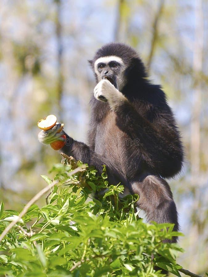 吃果子的白被递的长臂猿 库存照片