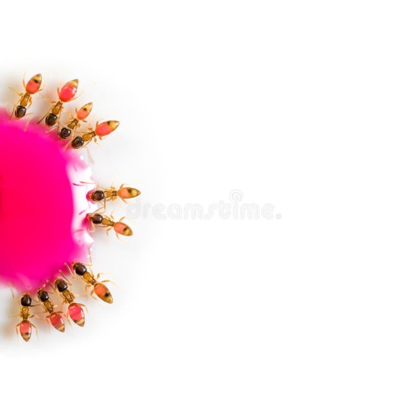 吃桃红色甜水的小组蚂蚁 免版税库存图片