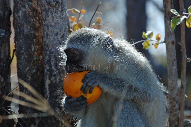 吃桔子的黑长尾小猴 库存图片