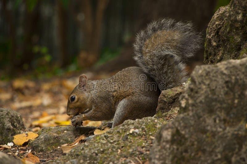 吃橡子的灰鼠 免版税库存图片