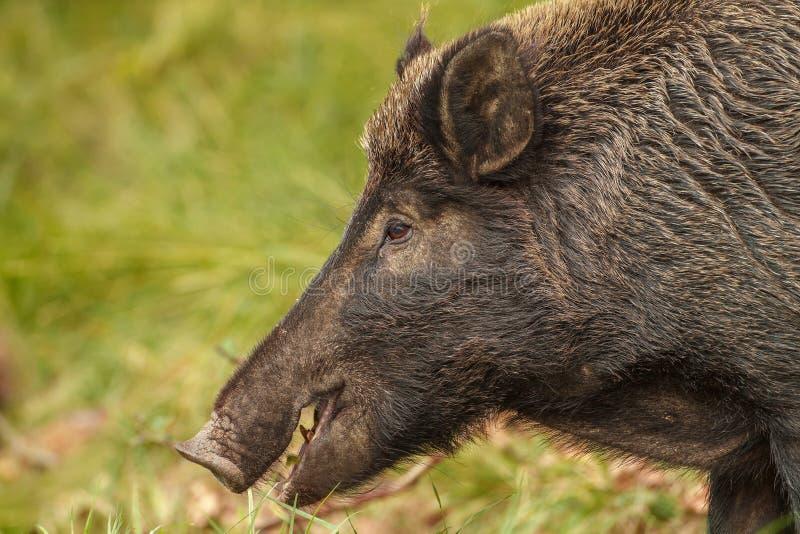 吃橡子的野猪母猪 库存图片