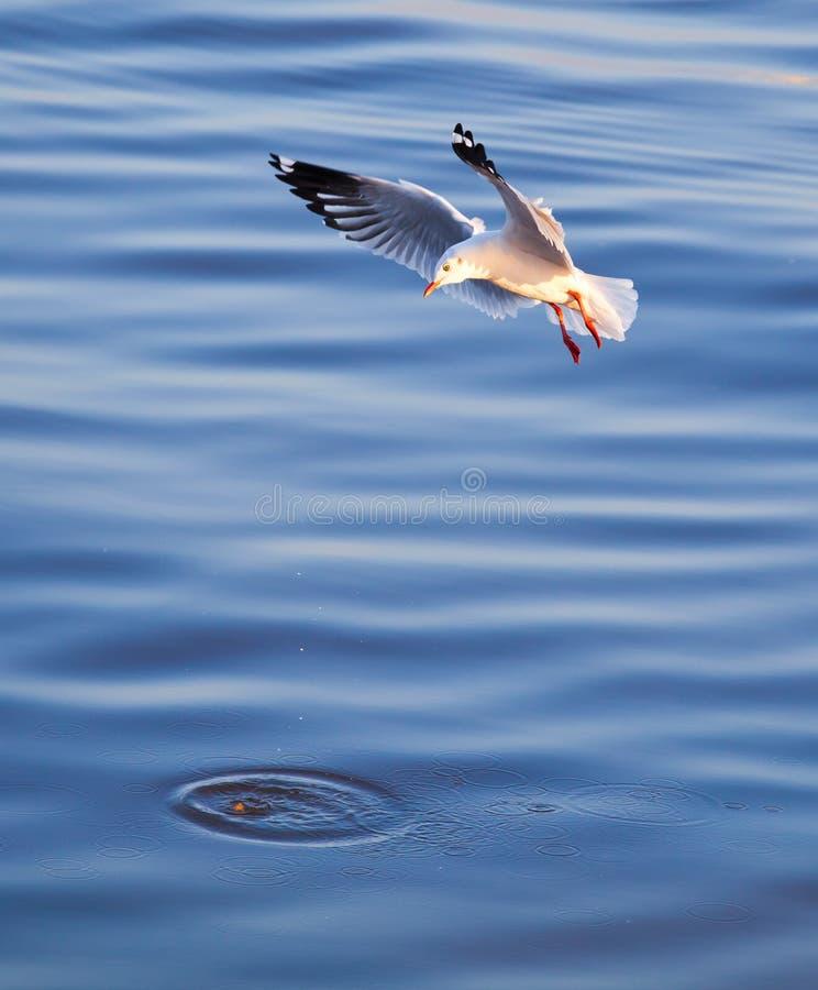 Download 吃海鸥 库存图片. 图片 包括有 有效地, 优美, 敌意, 天空, 颜色, 双翼飞机, 结转, 蓝色, 海鸥 - 22356661
