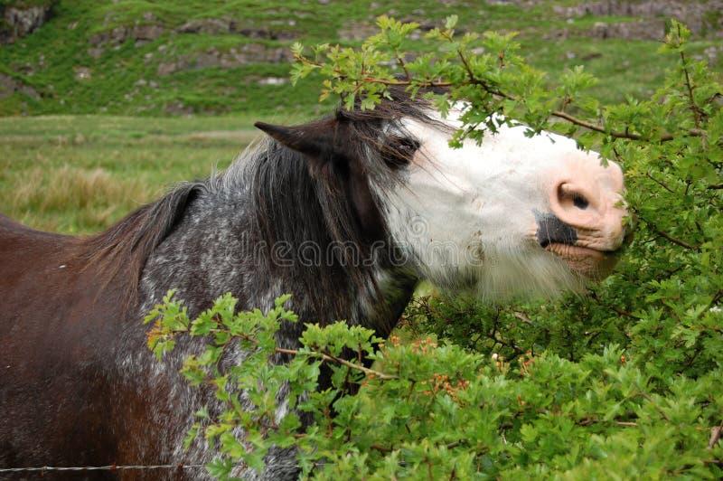 吃灌木的马 库存图片