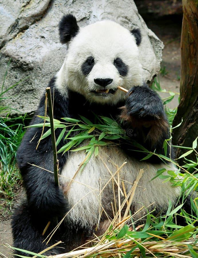 吃熊猫的熊 免版税库存图片