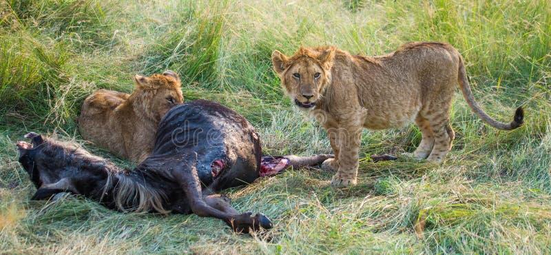 吃牺牲者的两只雌狮 国家公园 肯尼亚 坦桑尼亚 mara马塞语 serengeti 免版税库存图片