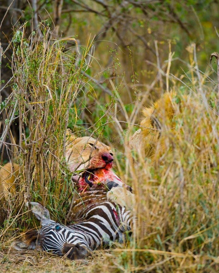 吃牺牲者的狮子自豪感 国家公园 肯尼亚 坦桑尼亚 mara马塞语 serengeti 免版税库存图片
