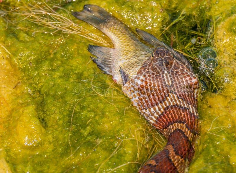 吃牺牲者的水蛇 免版税图库摄影