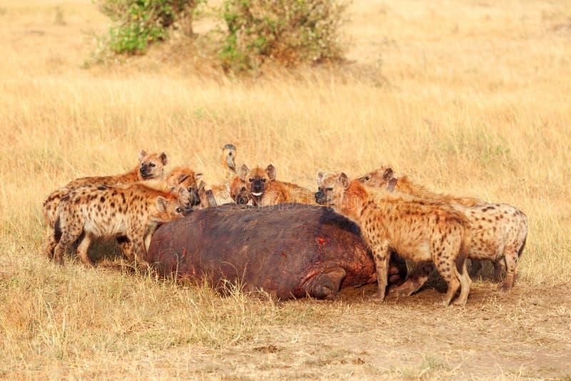 吃牺牲者,马塞语玛拉的鬣狗 免版税库存照片