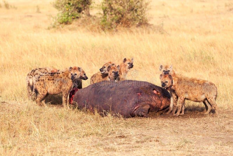 吃牺牲者,马塞语玛拉的鬣狗 库存照片