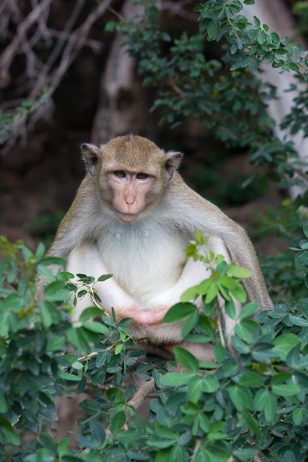 吃猴子的螃蟹 库存照片