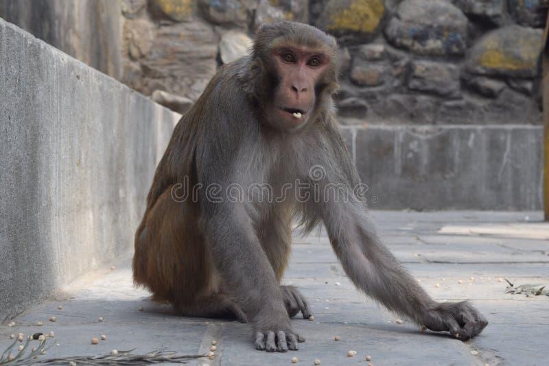 吃玉米和干豌豆的猴子 免版税图库摄影