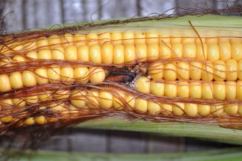 吃玉米的蠕虫 库存照片